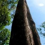 arbre ancien