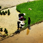 arracher du jeune riz