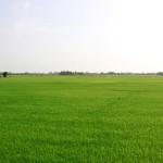 champs de riz dong thap
