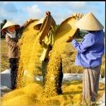 choisir du bon riz