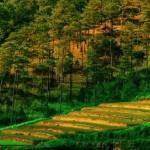 colline de pins