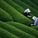 Women Harvesting Tea in Japan