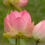 lotus dong thap