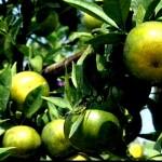 mandarin caibe