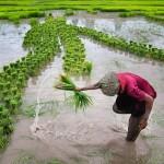 planter du riz 1