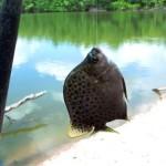 poisson caibe